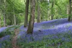 Bluebells by Andy Kent