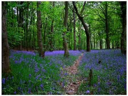 Bluebell Path by Richard Woodhouse