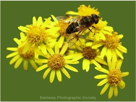 Flower Bee by Richard Woodhouse