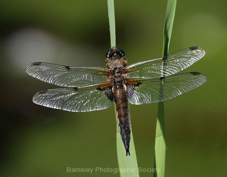 Four Spotted Chaser by Andy Kent
