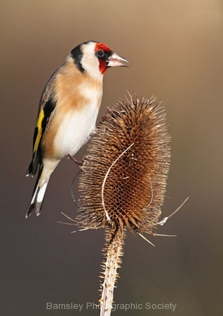 Goldfinch on Teasel by Andy Kent