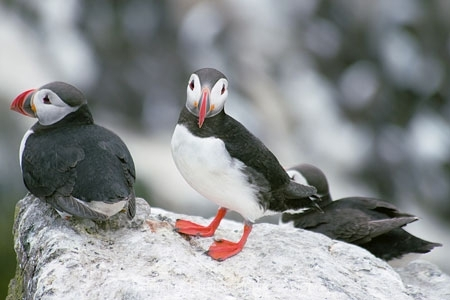 hree Puffins by Jeff Moore