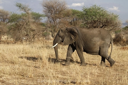 Elephant, Serengeti Park by Willem Van Herp