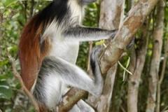Kirk Red Colobus Monkey by Willem Van Herp