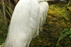 Little Egret by Tom Allison
