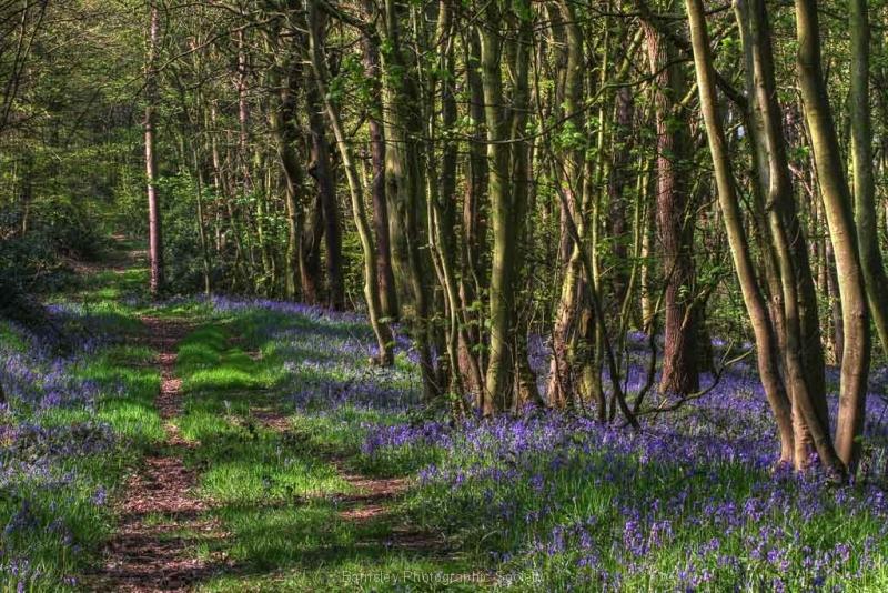 Stainborough-bluebell-wood