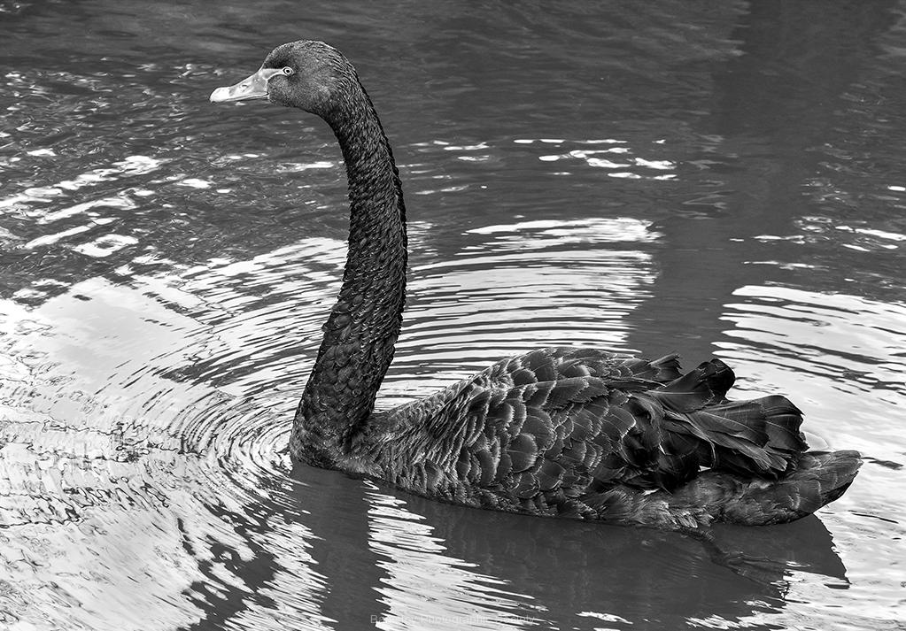 Black Swan by Bob Harper
