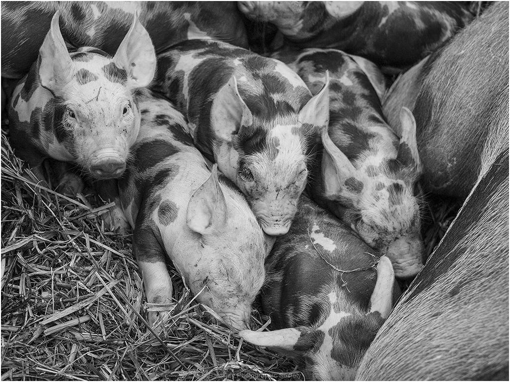 Piglets by Bob Harper