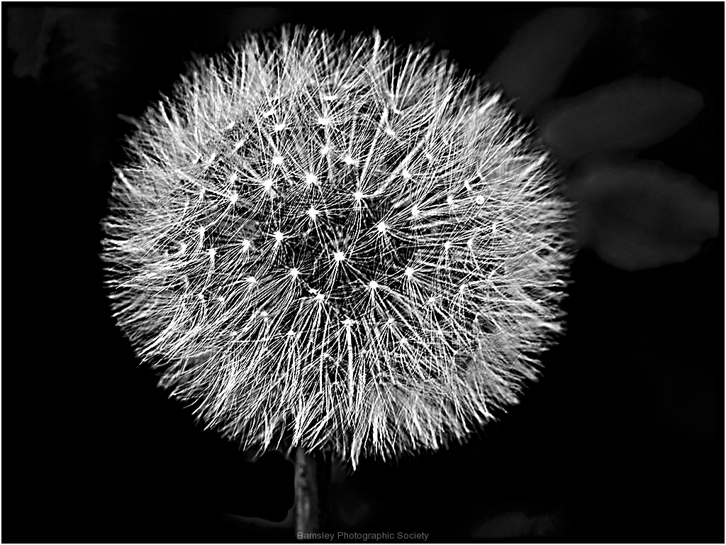 DANDELION SEED HEAD by Bob Harper