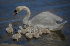 SWAN-WITH-CYGNETS-by-Bob-Harper