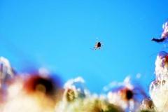 garden-spider-Araneus-