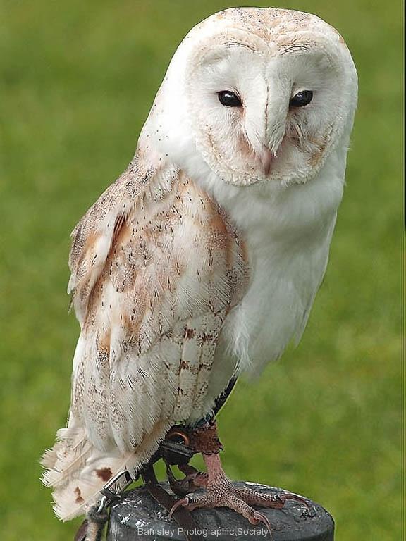 BARN OWL by Brian Jonhson