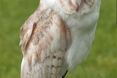BARN OWL by Brian Jonhson