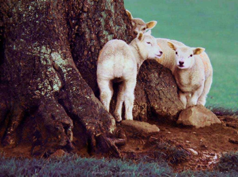 Yorkshire-Sheep