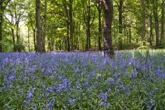 Bluebells_Wombwell_Woods