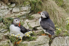 PUFFINS-by-Harry-Watson