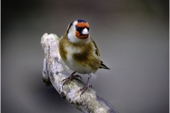 9 GOLDFINCH by Jeff Moore