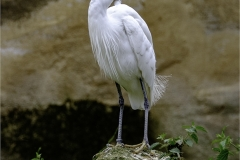 GREAT WHITE EGRET STANDING GUARD by Jeff moore