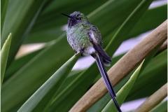 JUNIVILE HUMMINGBIRD by Jeff Moore