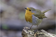 YOUNG ROBIN by Jeff Moore