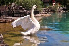 Mute-Swan