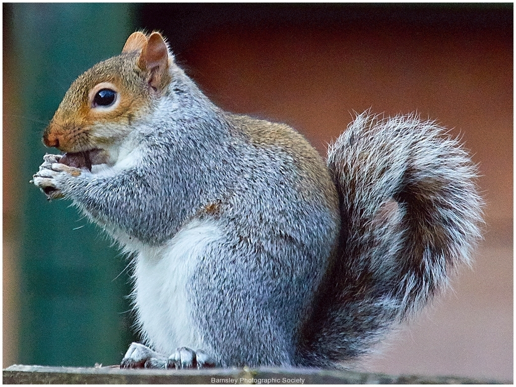 Grey Squirrel by Phil Holmes