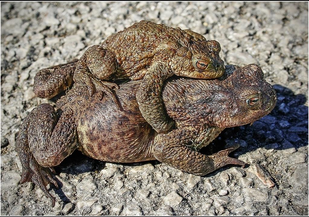 Common Toads by Bob Harper