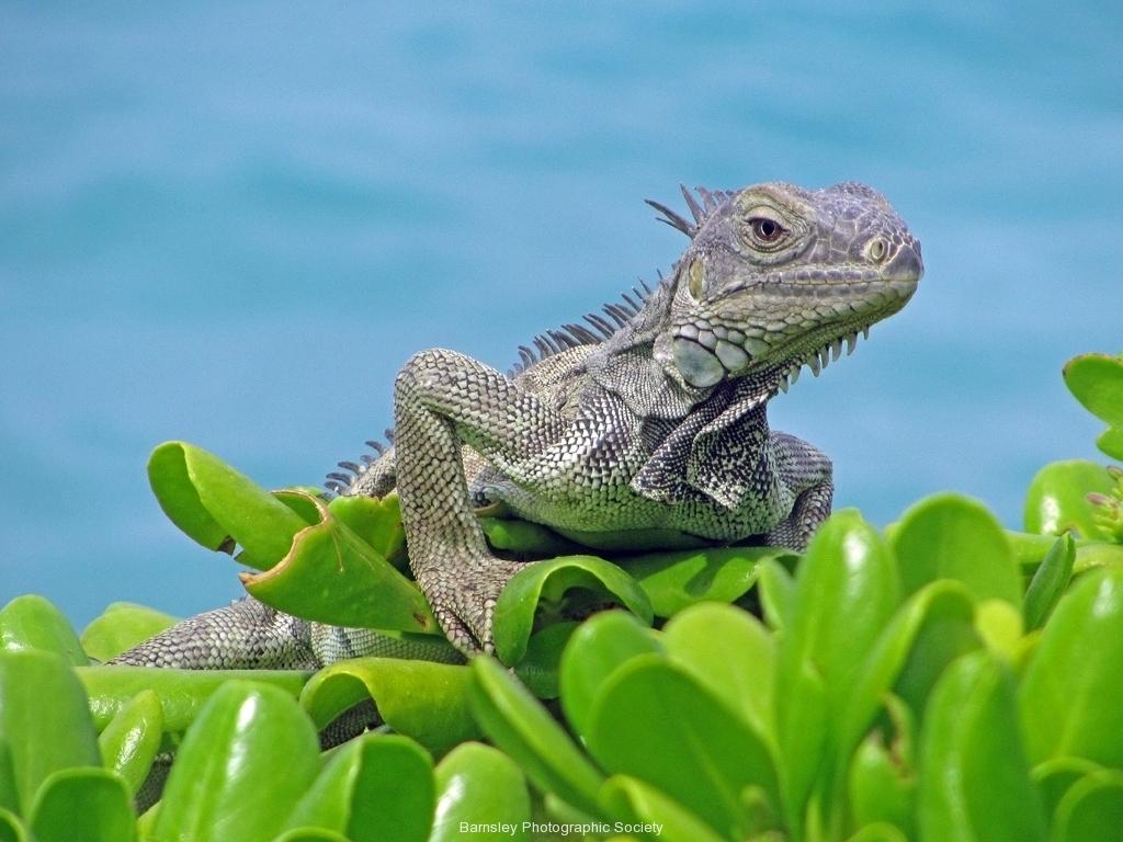 Lizard by Helen Cleary