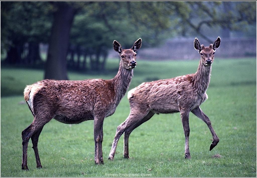 Deers by Bob Harper