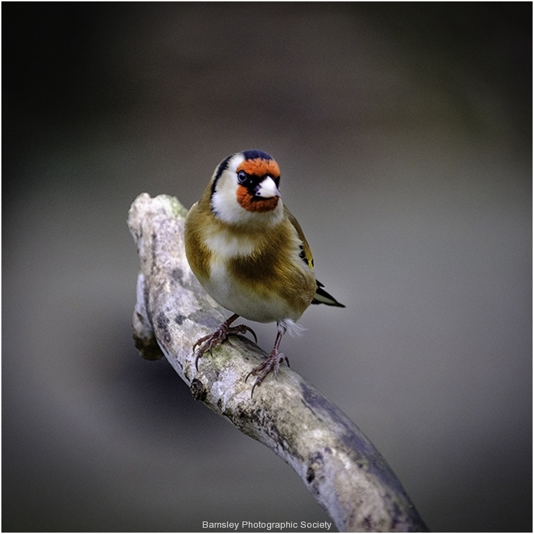 Goldfinch by Jeff Moore