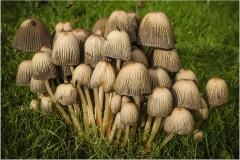 Ink Cap Fungi by Bob Harper