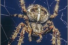 Garden Cross Spider by Bob Harper