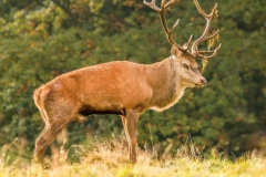 Red Deer Stag by Tom Allison