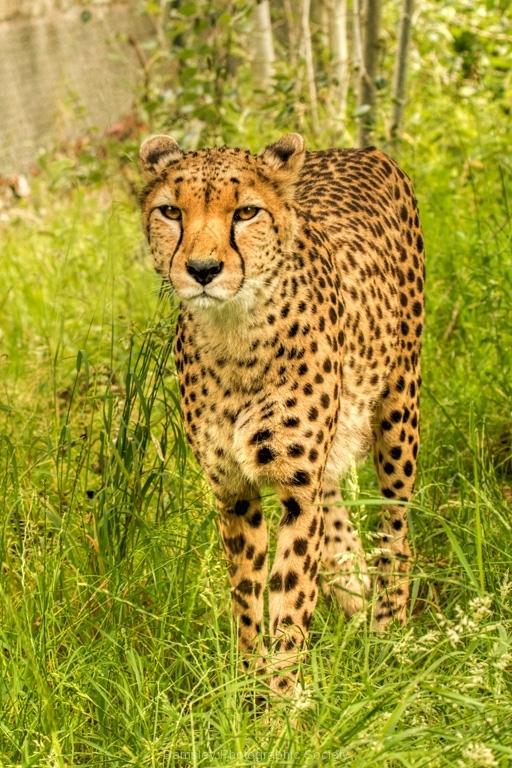 Cheetah by Tom Allison