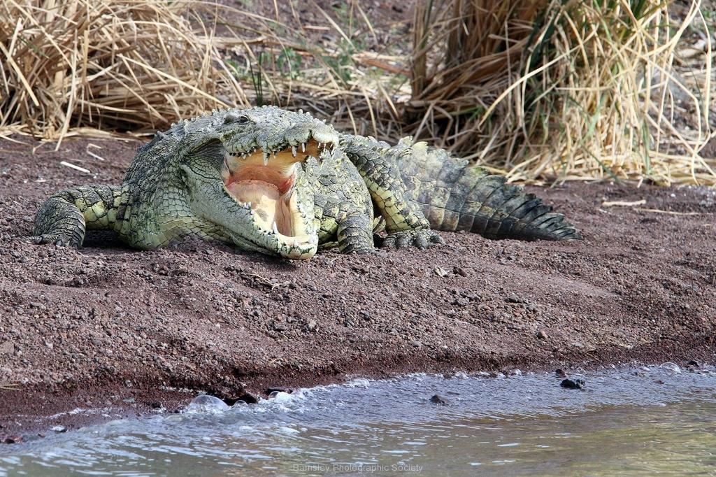 Crocodile by Willem Van Herp