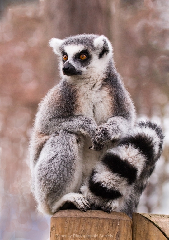 Ring Tailed Lemur by Tom Allison