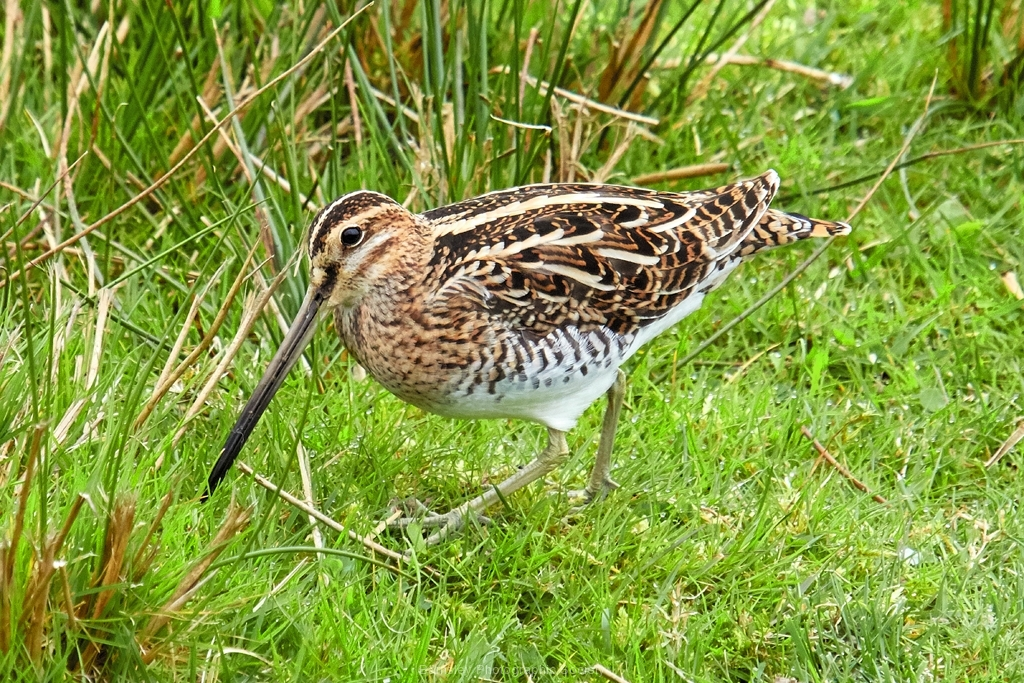 Snipe by Phil Holmes