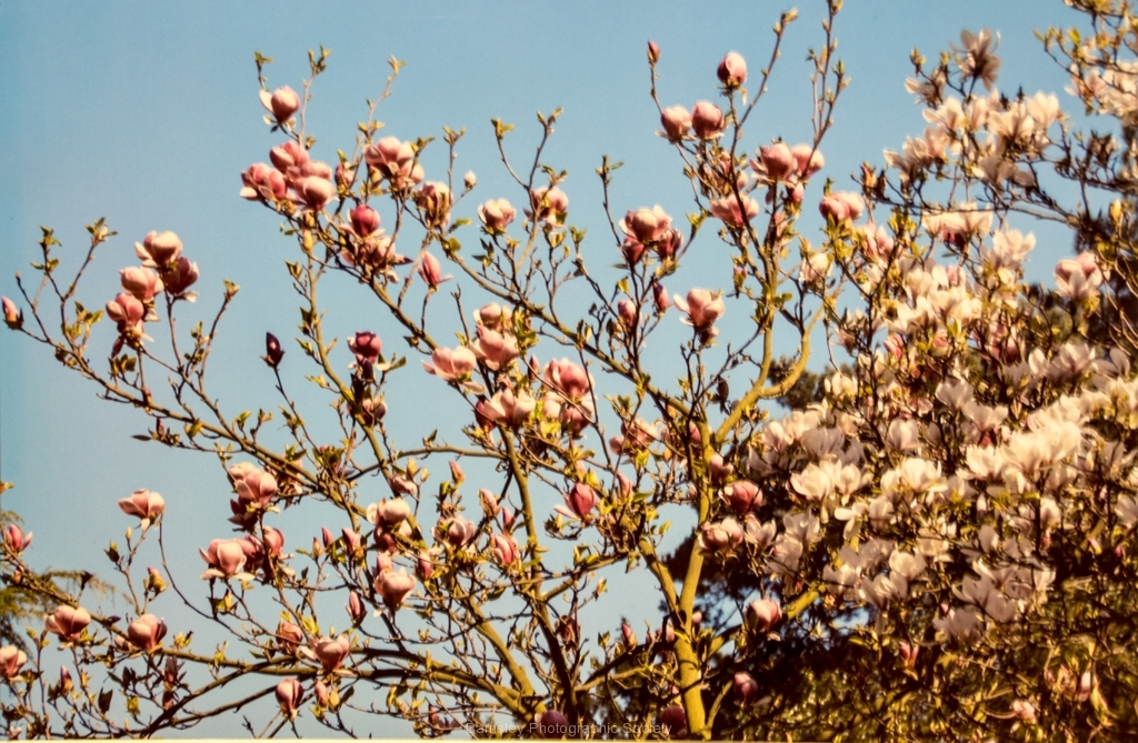 Spring Blossom by Glyn Tattersall