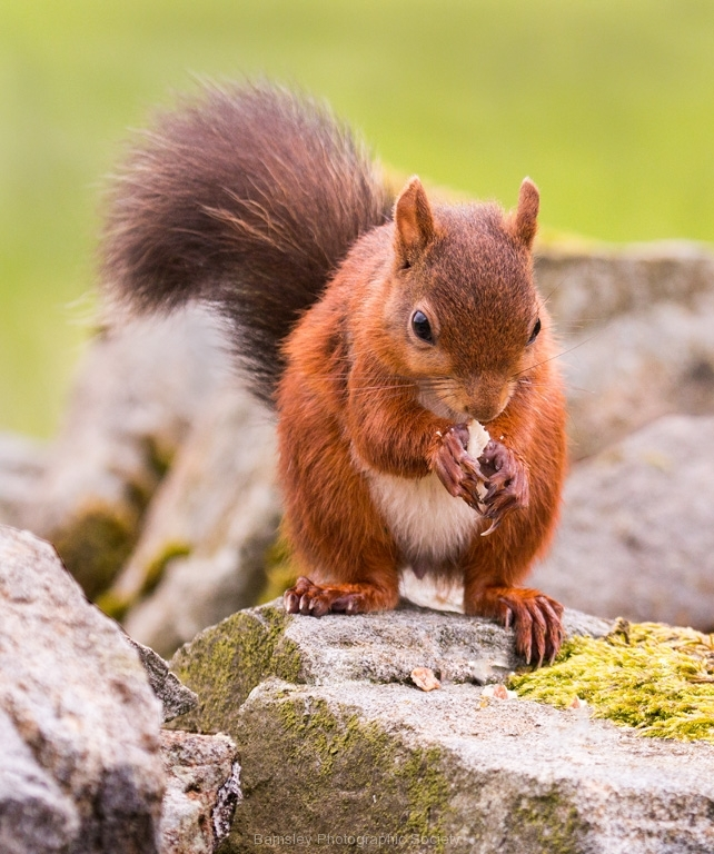 Red Squirrel by Tom Allison