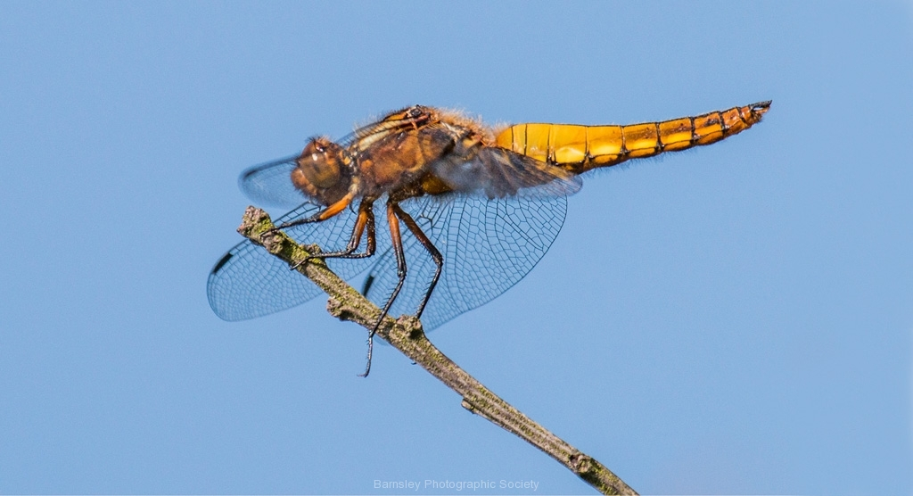 Female Broad Bodied Chaser by Tom Allison