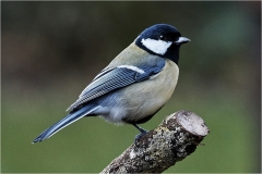Blue Tit by Phil Holmes