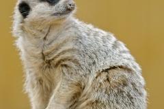 Meerkat  by Harry Watson