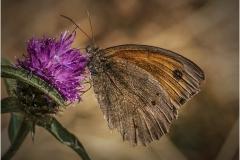Skipper Butterfly by Bob Harper