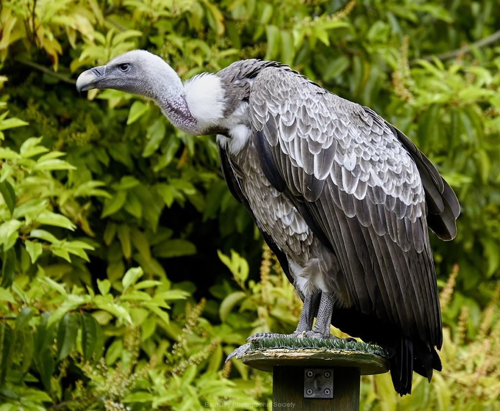 Griffon Vulture by Phil Holmes
