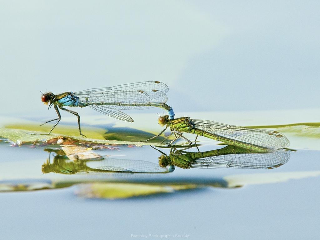 Mating Damselflies by Terri Thorpe