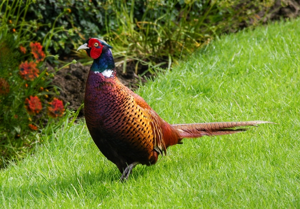 Pheasant by Phil Edwards