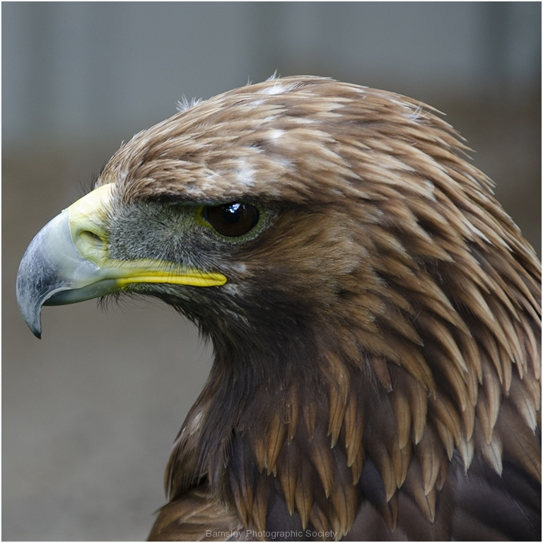Portrait of White Tailed Eagle by Jeff Moore