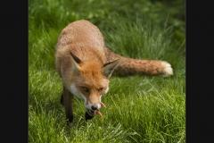 Cunning Mr Fox by Terri Thorpe