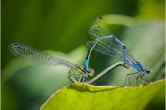 Mating Damselflies by Bob Harper