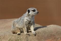 Meerkat by Willem Van Herp